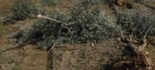 Binlerce zeytin ağacı kesildi!
