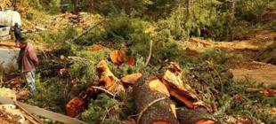 800 yıllık sedir ağaçları mermer ocağı için kestiler!