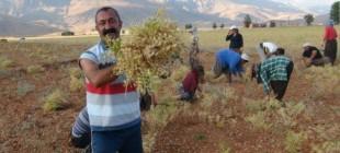 Komünist Ovacık Belediyesi'nde hasat zamanı
