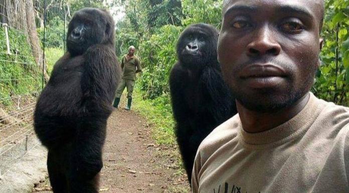Selfie çektiren goriller sosyal medyanın gündeminde