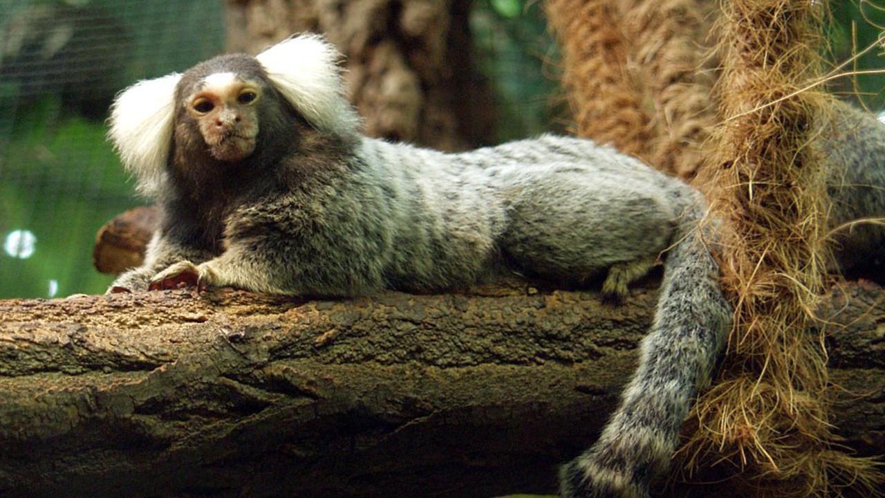 İnsana özgü bir gen, maymun beyinlerini insandaki gibi irileştiriyor*