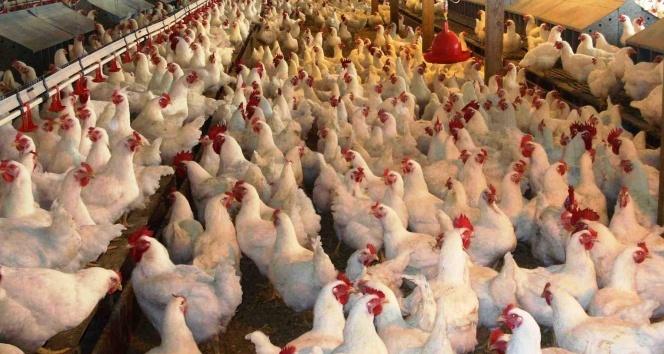 Tavuk eti üretimi Ekim ayında azaldı